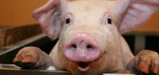 Wissenschaft – ist der Mensch eine Kreuzung zwischen Affe und Schwein?
